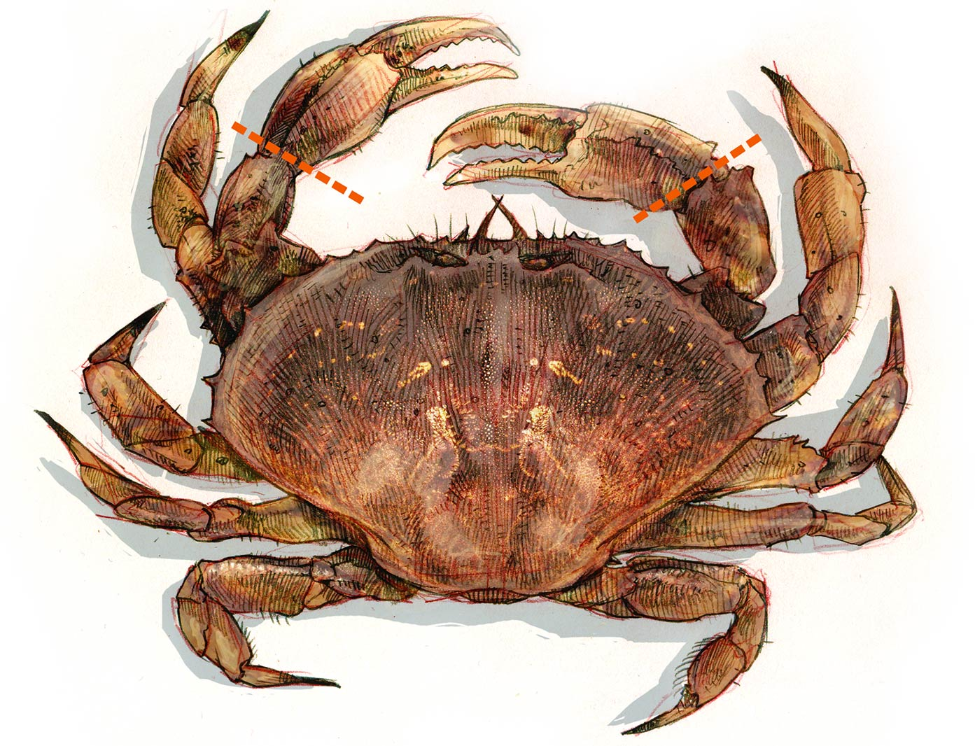 Dungeness Crab illustration